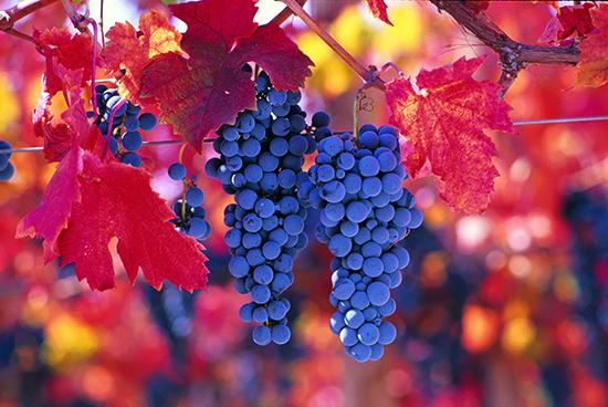 Carmenere-Grapes