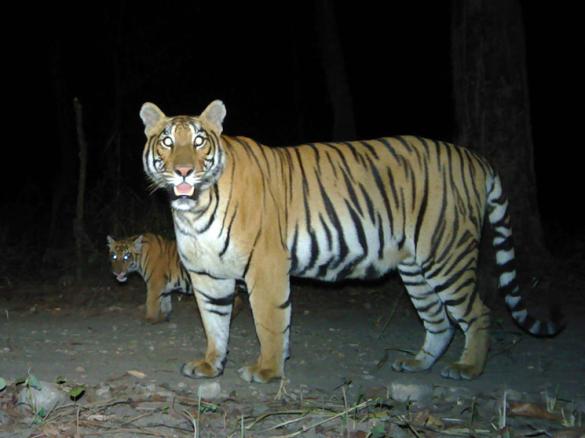 13 - NEPAL TIGERS
