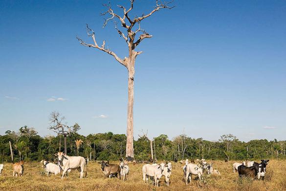Cattle Farming in Brazil Rinderherde